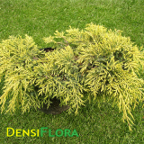 Juniperus media Gold Star
