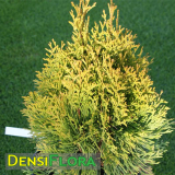 Thuja occidentalis Janed Gold, Tuja západná
