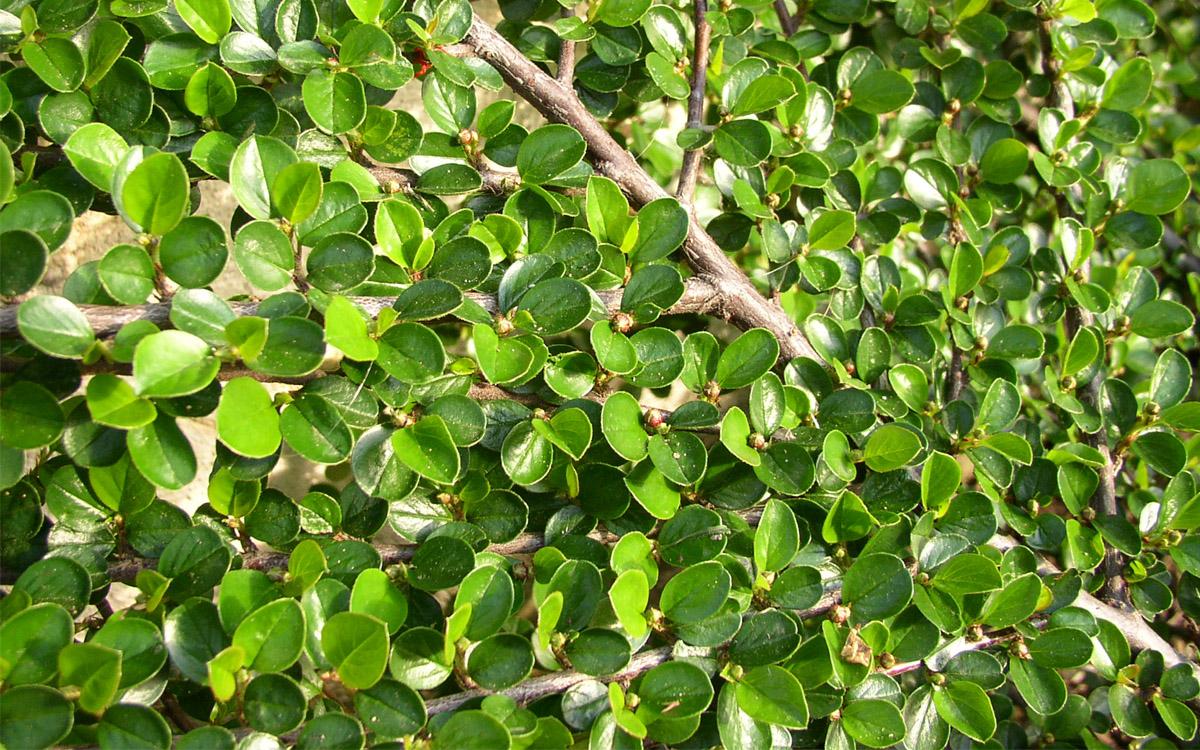 Rastliny cotoneaster procumbens 39 queen of carpets - Cotoneaster procumbens queen of carpets ...