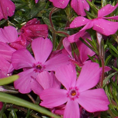 Phlox subulata Rose