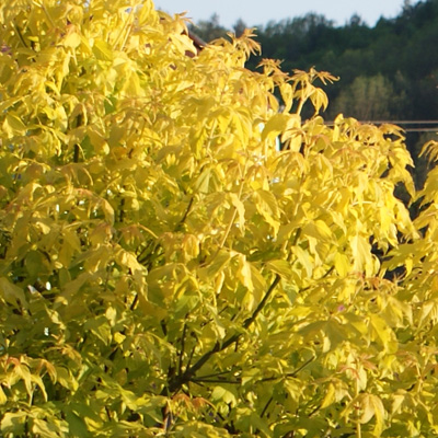 Acer negundo Kelly's Gold