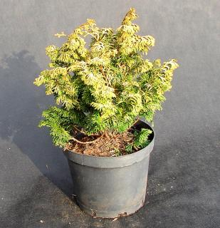 Chamaecyparis obtusa Golden Ceramic